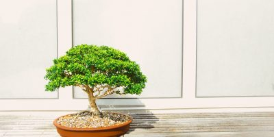 bonsai tree japan