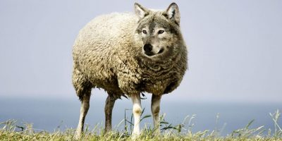 wolf-in-sheeps-clothing-2577813_2384x